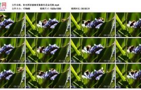 高清实拍视频素材丨阳光照射蜜蜂采集紫色花朵花粉