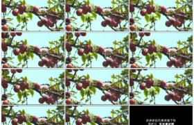 高清实拍视频素材丨挂着紫色李子的树枝随风摆动