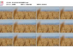 高清实拍视频丨秋天金色麦田里的麦穗特写