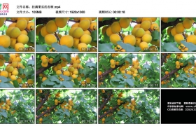 高清实拍视频丨挂满果实的杏树
