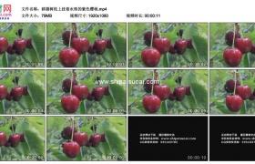 高清实拍视频素材丨移摄树枝上挂着水珠的紫色樱桃
