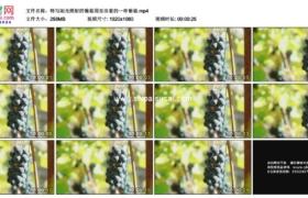 高清实拍视频素材丨特写阳光照射的葡萄园里挂着的一串葡萄