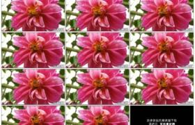 4K实拍视频素材丨特写一只蜜蜂采集一朵红花的花粉