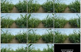 4K实拍视频素材丨在一片玉米地里穿行