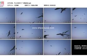 高清实拍视频素材丨鸟儿在蓝天下飞翔盘旋
