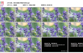 高清实拍视频丨紫色的薰衣草随风轻摆