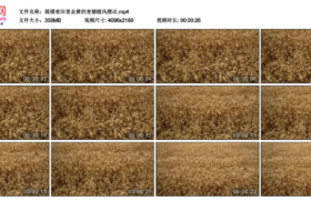 4K实拍视频素材丨摇摄麦田里金黄的麦穗随风摆动