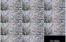 4K实拍视频素材丨春天树上白色的樱花随风摆动