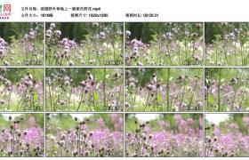 高清实拍视频素材丨摇摄野外草地上一片紫色野花