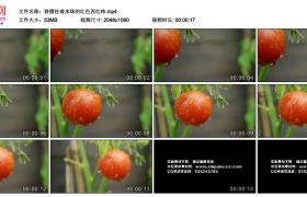 高清实拍视频素材丨移摄挂着水珠的红色西红柿