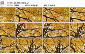 4K实拍视频素材丨摇摄秋天挂满黄叶的树枝