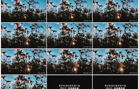 高清实拍视频素材丨逆光中摇曳的花朵剪影