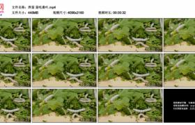 4K实拍视频素材丨养蚕 蚕吃桑叶