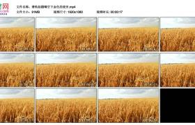 高清实拍视频丨滑轨拍摄晴空下金色的麦田