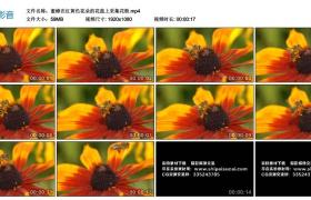 高清实拍视频丨蜜蜂在红黄色花朵的花蕊上采集花粉