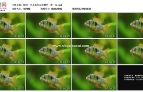 高清实拍视频素材丨特写一只小鱼在水中嘴巴一张一合