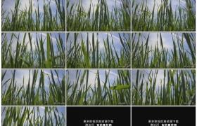 高清实拍视频素材丨仰拍晴空下随风摇摆的青色麦苗