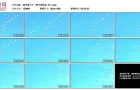高清实拍视频素材丨晴天蓝天下一群天鹅排队飞行