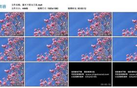 高清实拍视频素材丨蓝天下的玉兰花