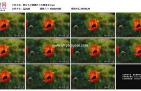 高清实拍视频素材丨特写风中摇摆的红色罂粟花