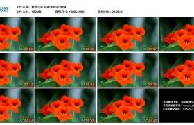 高清实拍视频丨鲜艳的红花随风摆动