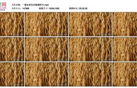 高清实拍视频丨一摞金黄色的稻穗特写
