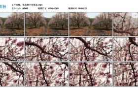 【高清实拍素材】桃花林中有桃花