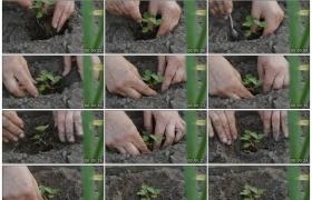 4K实拍视频素材丨特写在土地上种植草莓