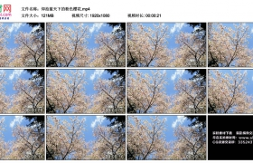 高清实拍视频丨仰拍蓝天下的粉色樱花