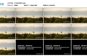 【高清实拍素材】江边的油菜花