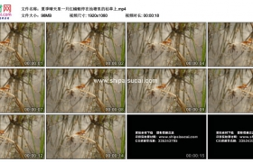 高清实拍视频素材丨夏季晴天里一只红蜻蜓停在池塘里的枯草上