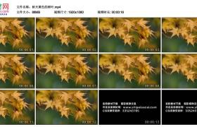 高清实拍视频丨特写秋天黄色的树叶