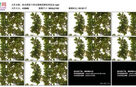 4K实拍视频素材丨阳光照射下的宝塔树的树枝和花朵