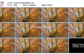 4K实拍视频素材丨仰拍秋天阳光照射着满树黄叶