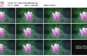 高清实拍视频素材丨特写一朵粉红色的郁金香随风摆动