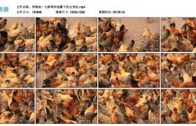 高清实拍视频丨养殖场一大群鸡争抢撒下的玉米粒