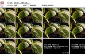 高清实拍视频丨植物嫩叶上的露珠拉焦