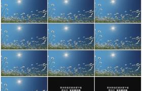 高清实拍视频素材丨仰拍阳光下盛开的雏菊