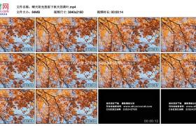 4K实拍视频素材丨晴天阳光透射下秋天的黄叶