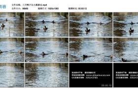 高清实拍视频丨三只鸭子从小溪游过