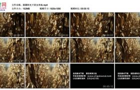 高清实拍视频丨摇摄阳光下玉米地里的干枯秸秆