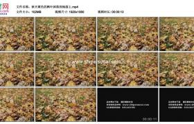 高清实拍视频素材丨秋天黄色的枫叶掉落到地面上