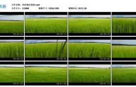 高清实拍视频丨风吹绿色麦浪