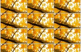 高清实拍视频素材丨秋天树枝上挂着黄色的银杏树叶