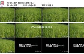 高清实拍视频素材丨摇摄早晨稻田里挂着露珠的水稻