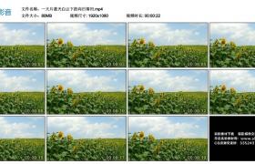 高清实拍视频丨蓝天白云下的一大片向日葵田
