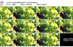 高清实拍视频素材丨阳光照射着葡萄园里躲在叶子后面的紫色葡萄