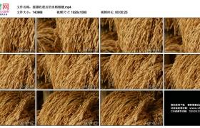 高清实拍视频丨摇摄收获后的水稻稻穗