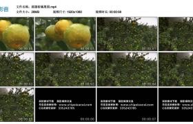 高清实拍视频丨摇摄柑橘果园