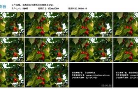 高清实拍视频丨成熟的红色樱桃挂在树枝上
